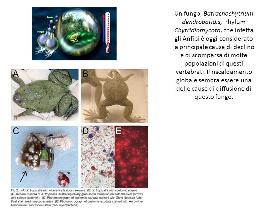 Un fungo, Batrachochytrium dendrobatidis, Phylum Chytridiomycota, che infetta gli Anfibi è oggi considerato la principale causa di declino e di scomparsa di molte popolazioni di questi vertebrati.
