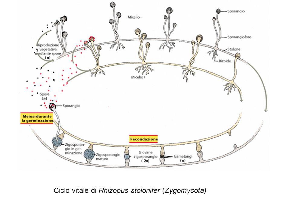 Ciclo vitale di Rhizopus stolonifer (Zygomycota)
