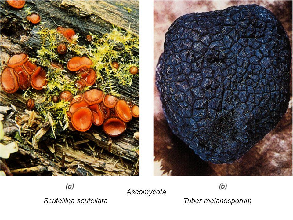 Scutellina scutellata Tuber melanosporum
