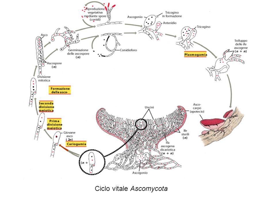 Ciclo vitale Ascomycota