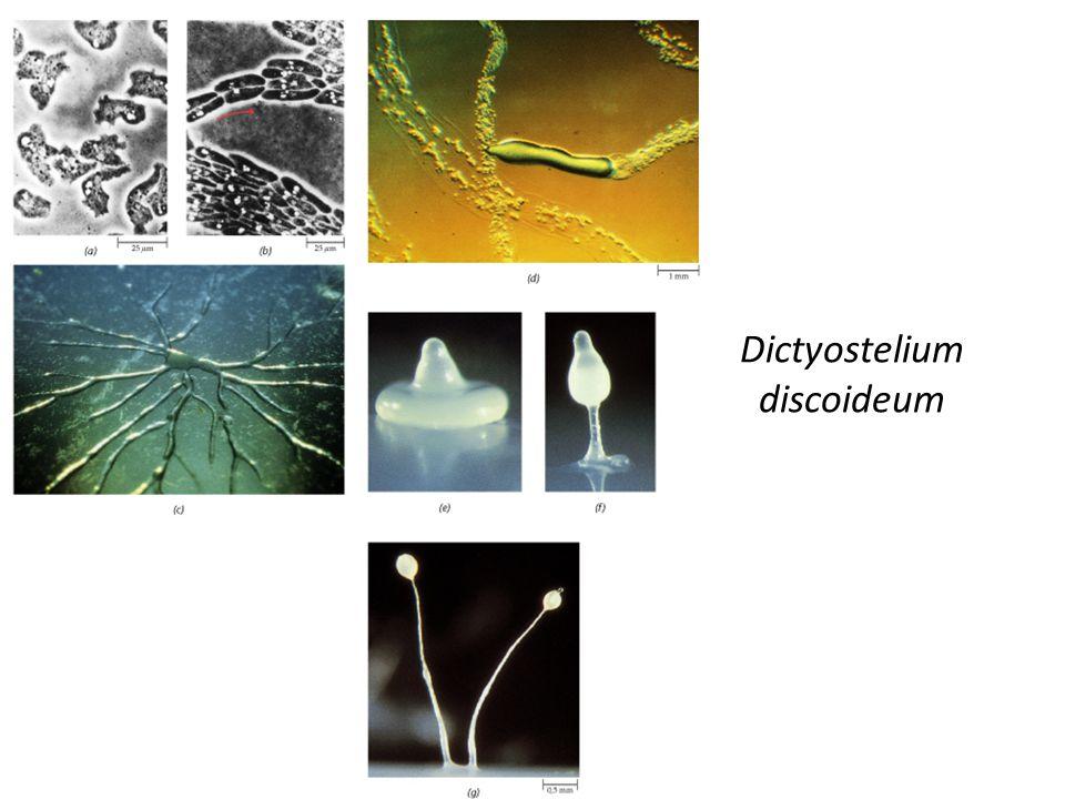 Dictyostelium discoideum