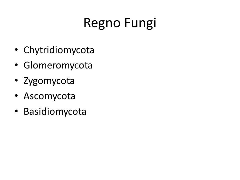Regno Fungi Chytridiomycota Glomeromycota Zygomycota Ascomycota