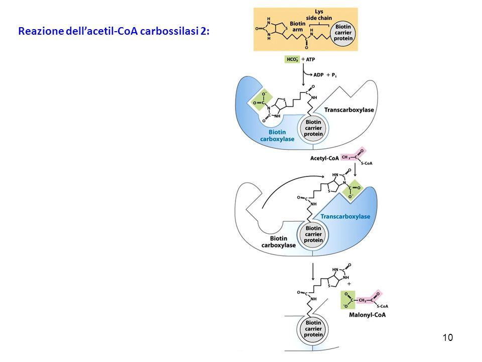 Reazione dell'acetil-CoA carbossilasi 2: