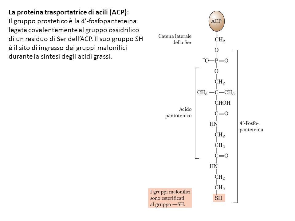 La proteina trasportatrice di acili (ACP):