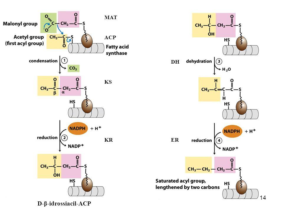D-β-idrossiacil-ACP MAT ACP DH KS KR ER