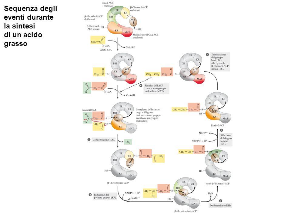Sequenza degli eventi durante la sintesi di un acido grasso