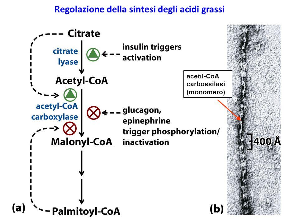 Regolazione della sintesi degli acidi grassi