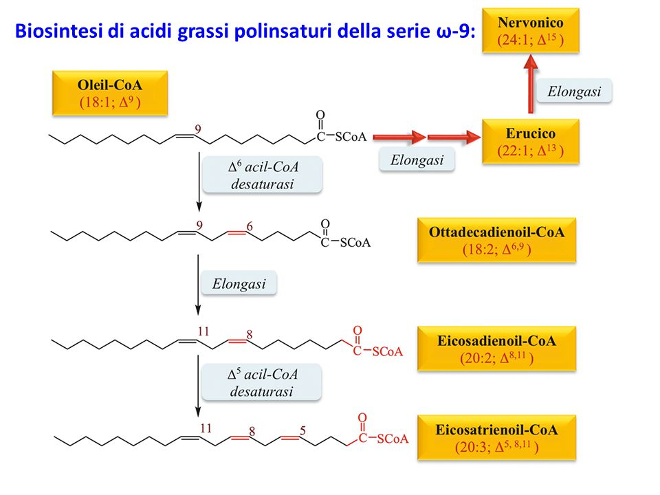 Biosintesi di acidi grassi polinsaturi della serie ω-9: