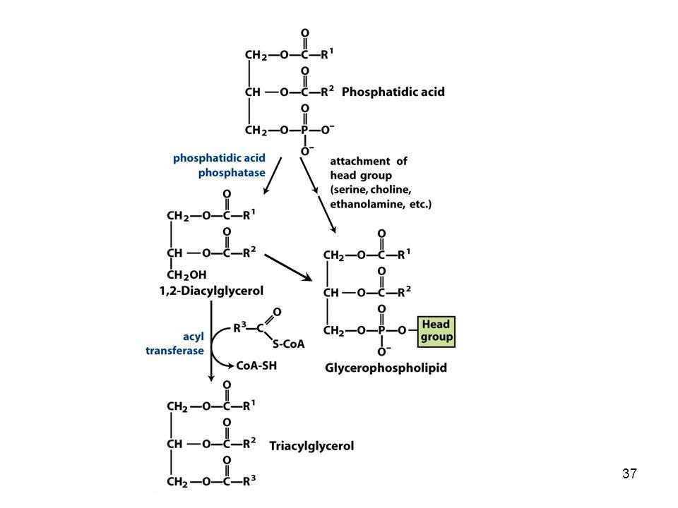 Nelson e Cox 6°ed. Figura 21.18: L'acido fosfatidico nella biosintesi lipidica.