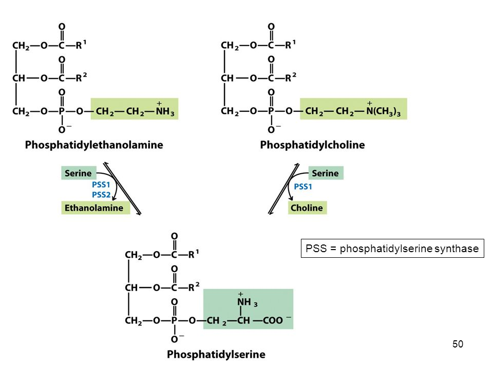 PSS = phosphatidylserine synthase