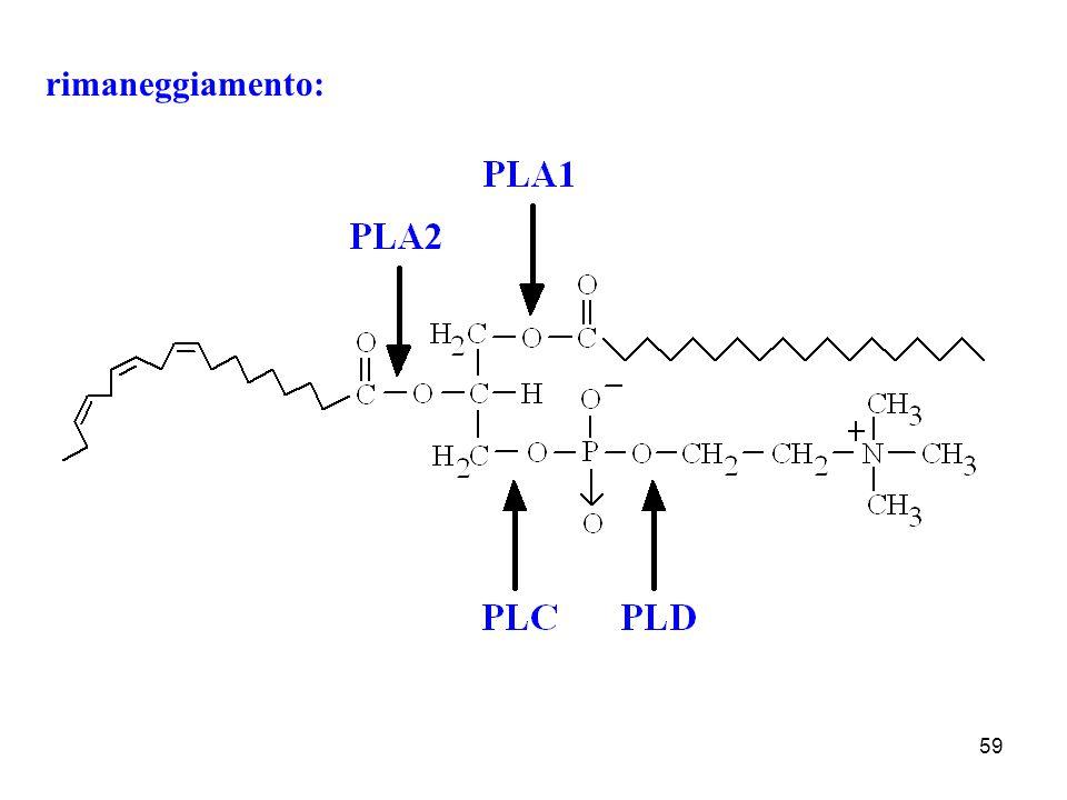 rimaneggiamento: Rimaneggiamento della fosfatidilcolina dall'azione delle diverse fosfolipasi.