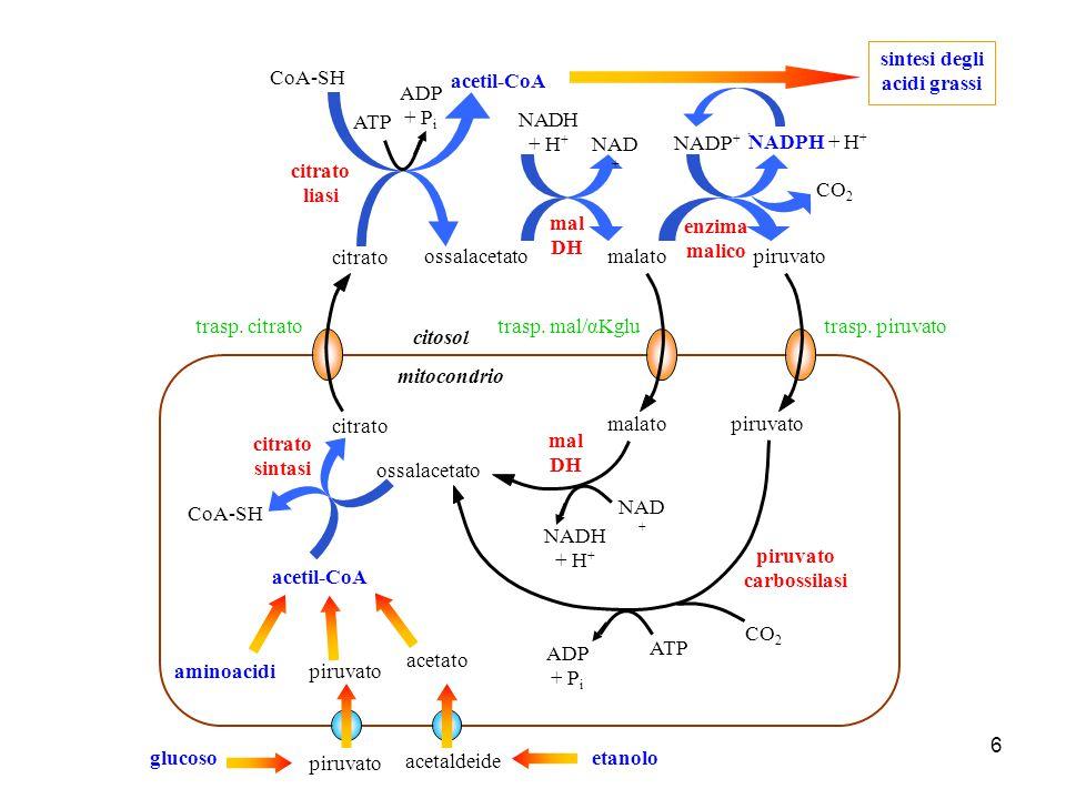 sintesi degli acidi grassi piruvato carbossilasi