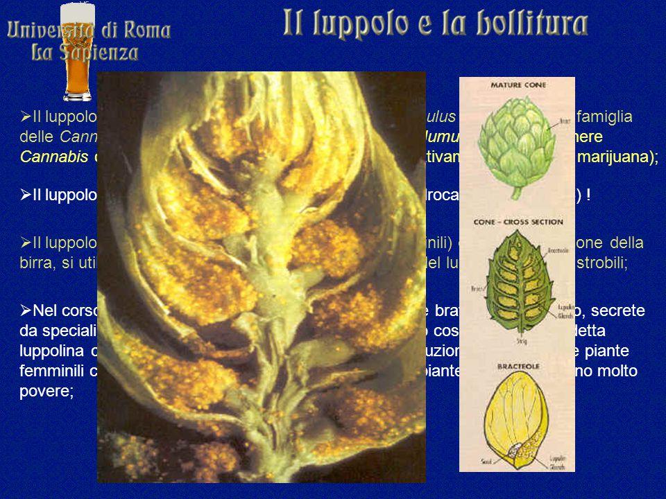 Il luppolo è classificato in botanica come Humulus lupulus e fa parte della famiglia delle Cannabinaceae che comprende, oltre al genere Humulus, anche il genere Cannabis con le due specie C. sativa e C. indica (rispettivamente canapa e marijuana);