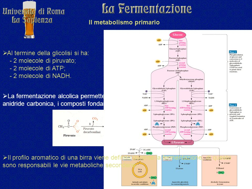 Il metabolismo primario