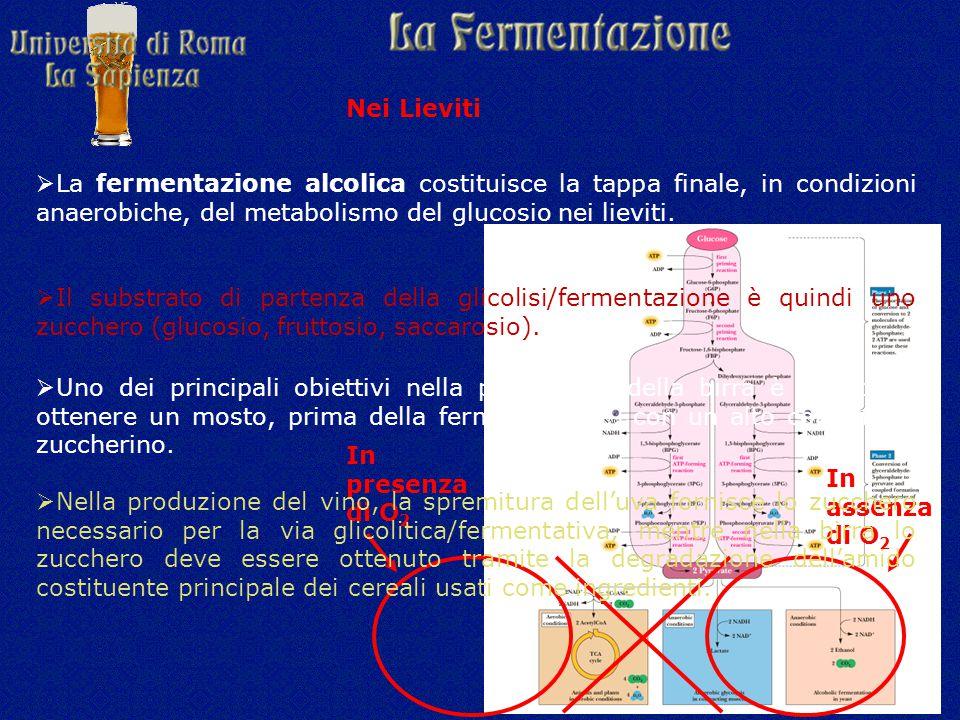 Nei Lieviti La fermentazione alcolica costituisce la tappa finale, in condizioni anaerobiche, del metabolismo del glucosio nei lieviti.