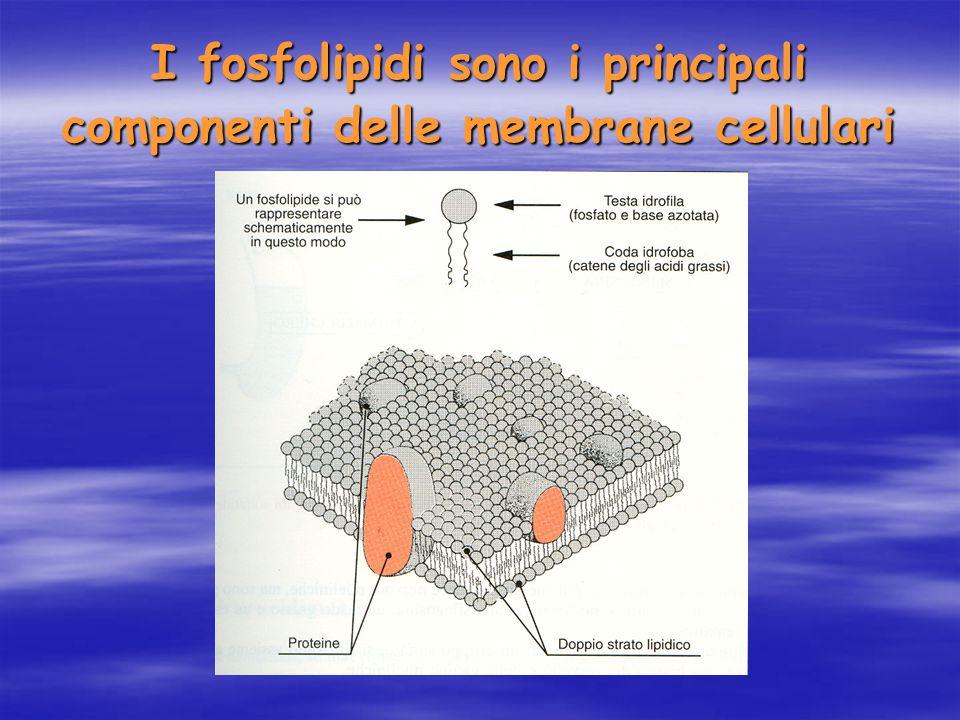 I fosfolipidi sono i principali componenti delle membrane cellulari