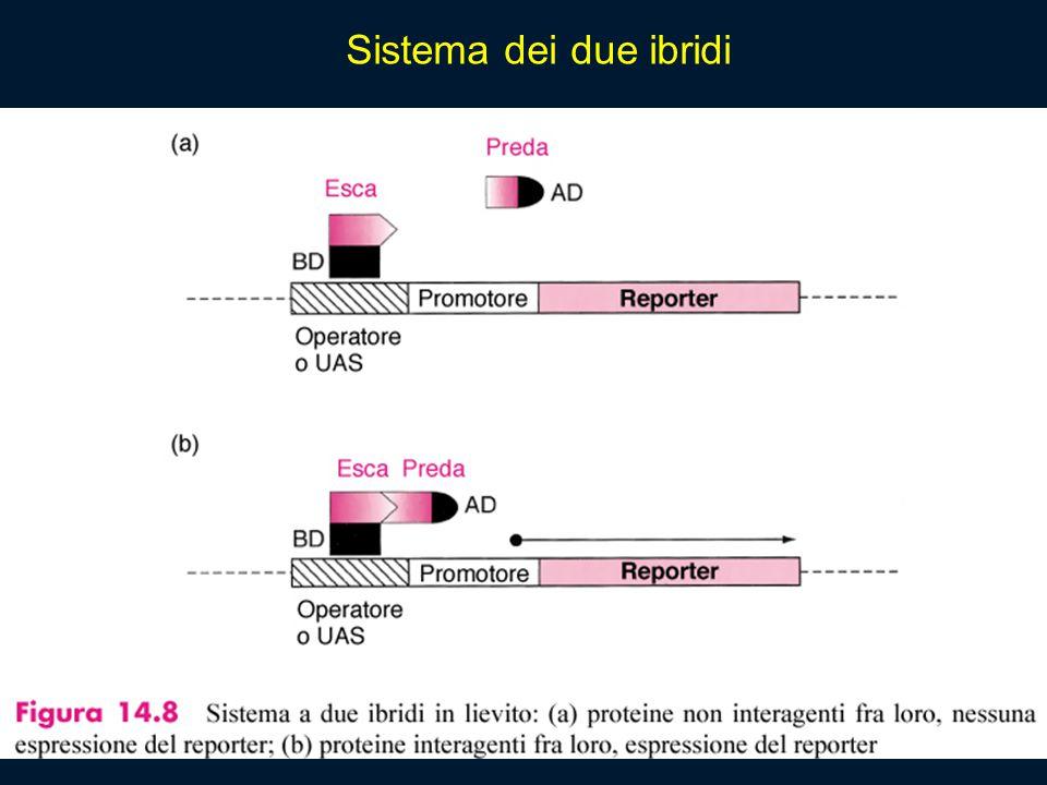 Sistema dei due ibridi