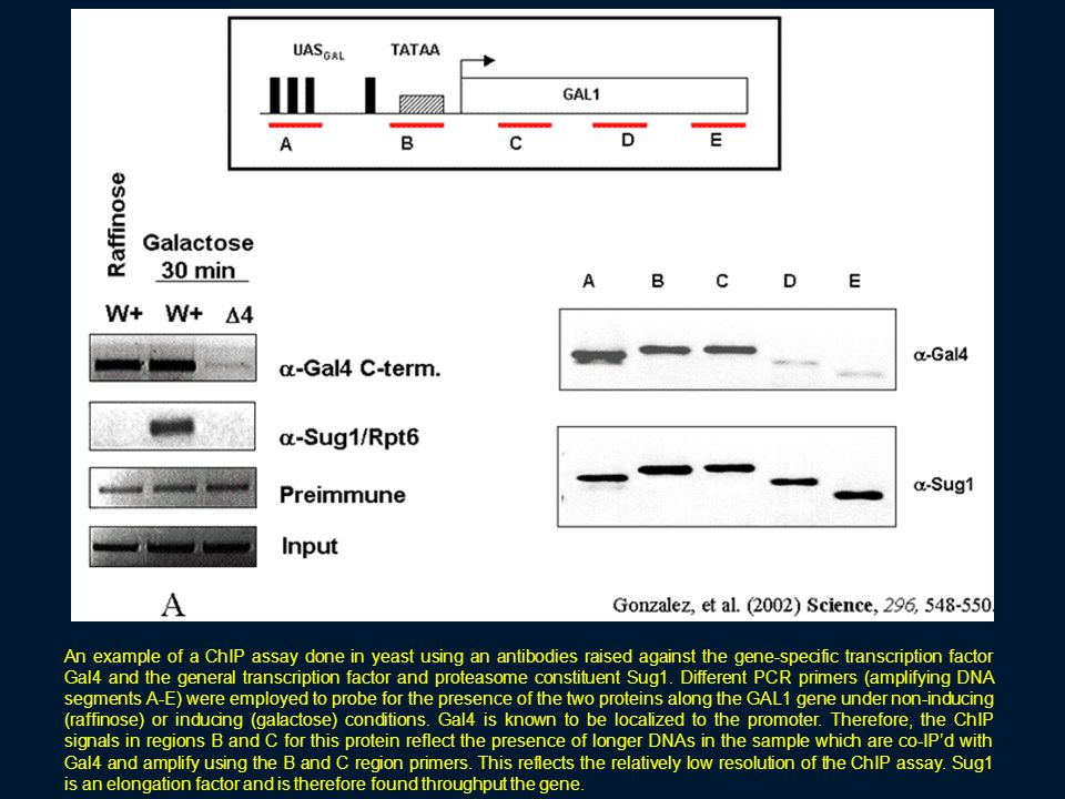 An example of a ChIP assay done in yeast using an antibodies raised against the gene-specific transcription factor Gal4 and the general transcription factor and proteasome constituent Sug1.