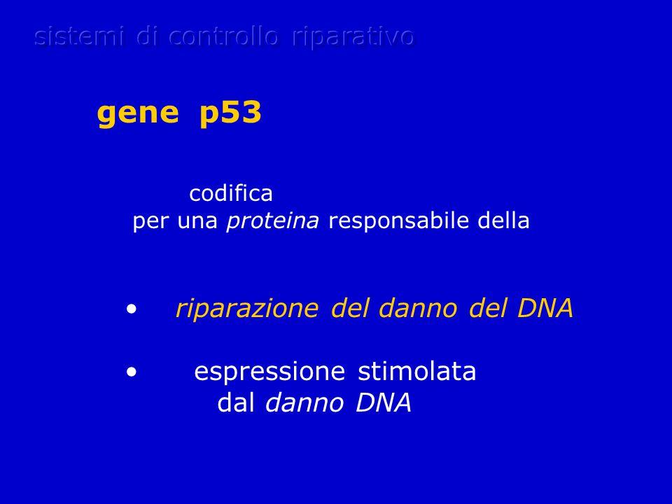 gene p53 sistemi di controllo riparativo codifica