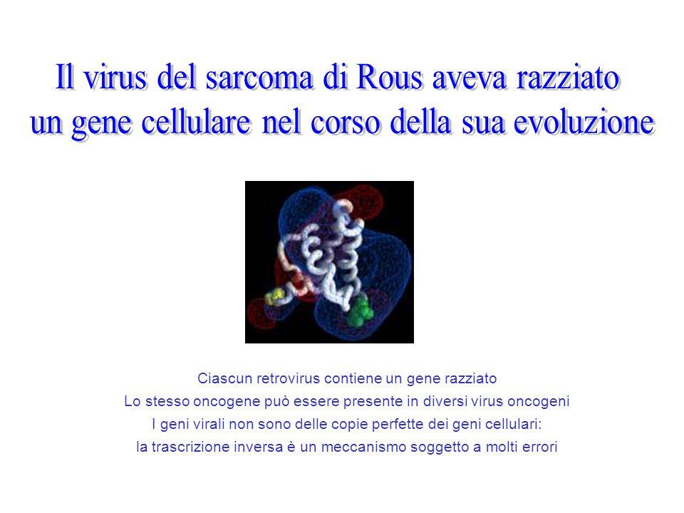 Il virus del sarcoma di Rous aveva razziato