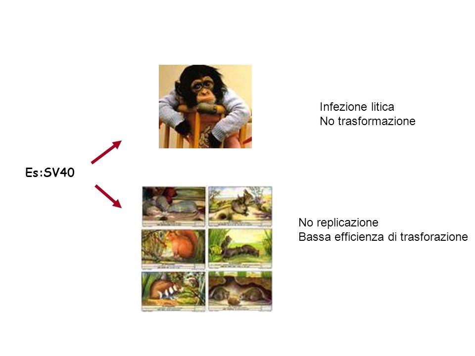Infezione litica No trasformazione Es:SV40 No replicazione Bassa efficienza di trasforazione