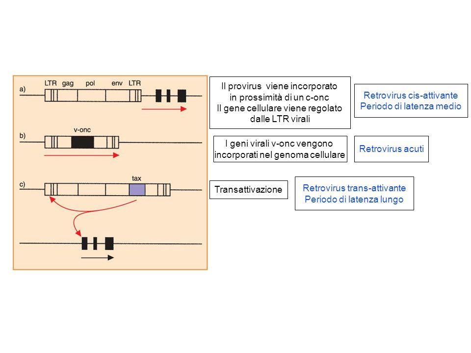 Il provirus viene incorporato in prossimità di un c-onc