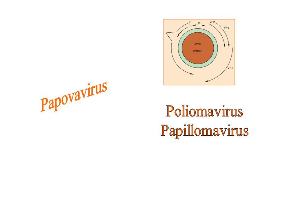 Papovavirus Poliomavirus Papillomavirus
