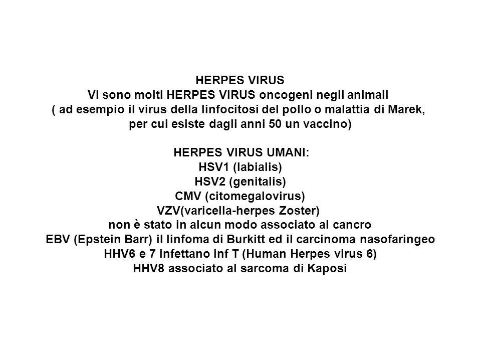 Vi sono molti HERPES VIRUS oncogeni negli animali