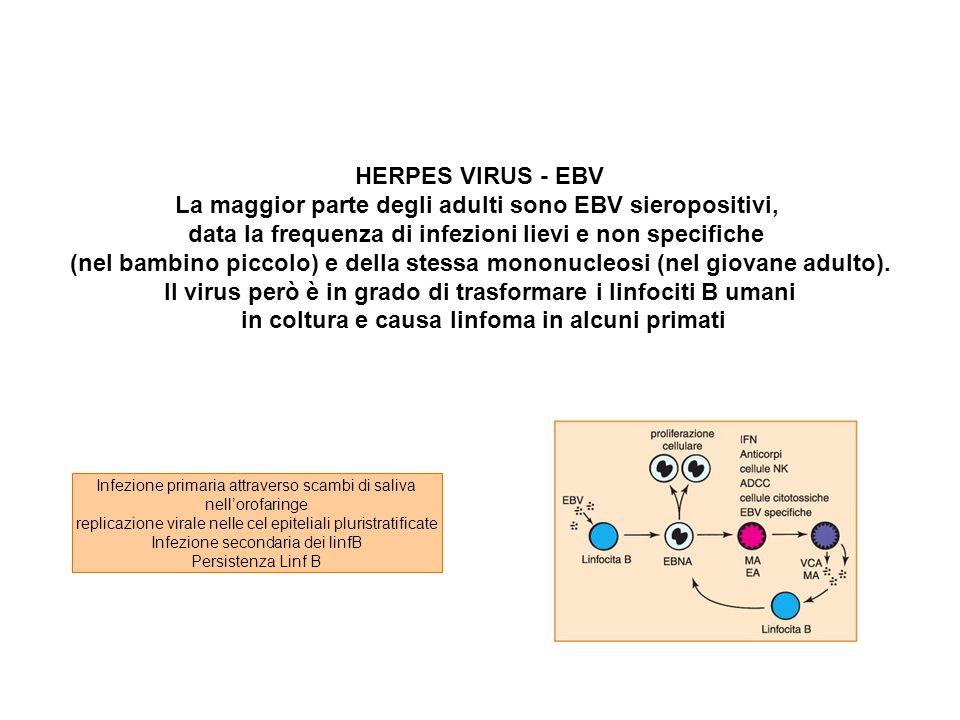 La maggior parte degli adulti sono EBV sieropositivi,