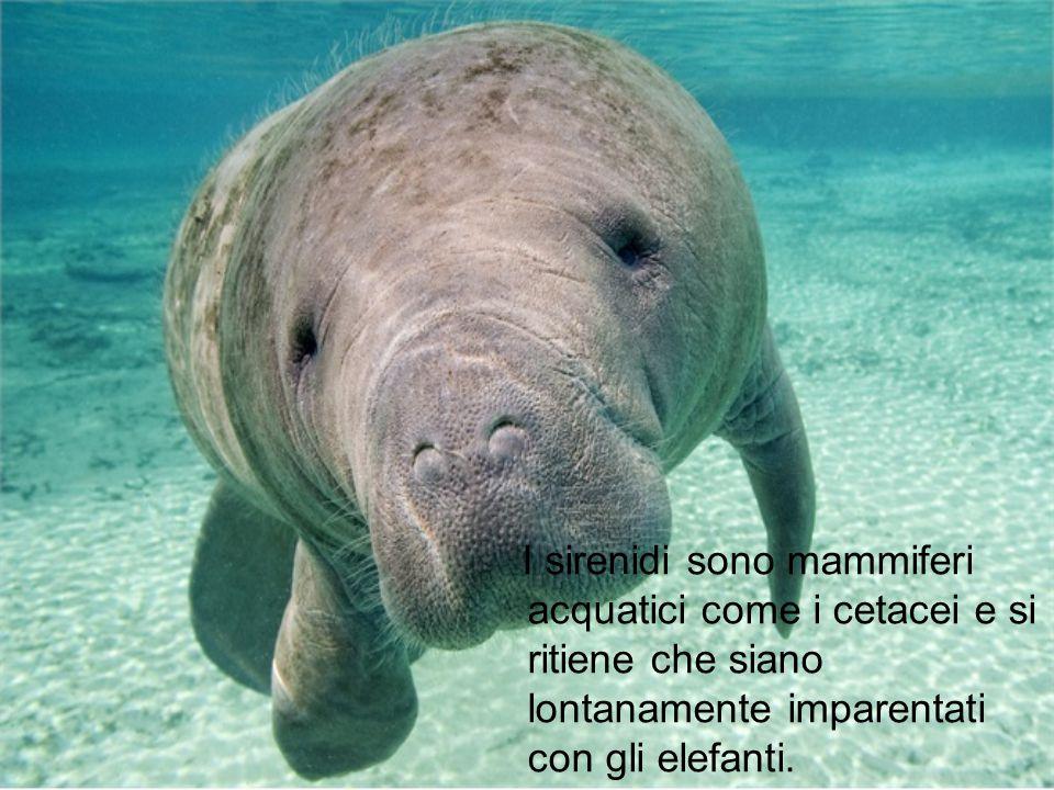I sirenidi sono mammiferi acquatici come i cetacei e si ritiene che siano lontanamente imparentati con gli elefanti.