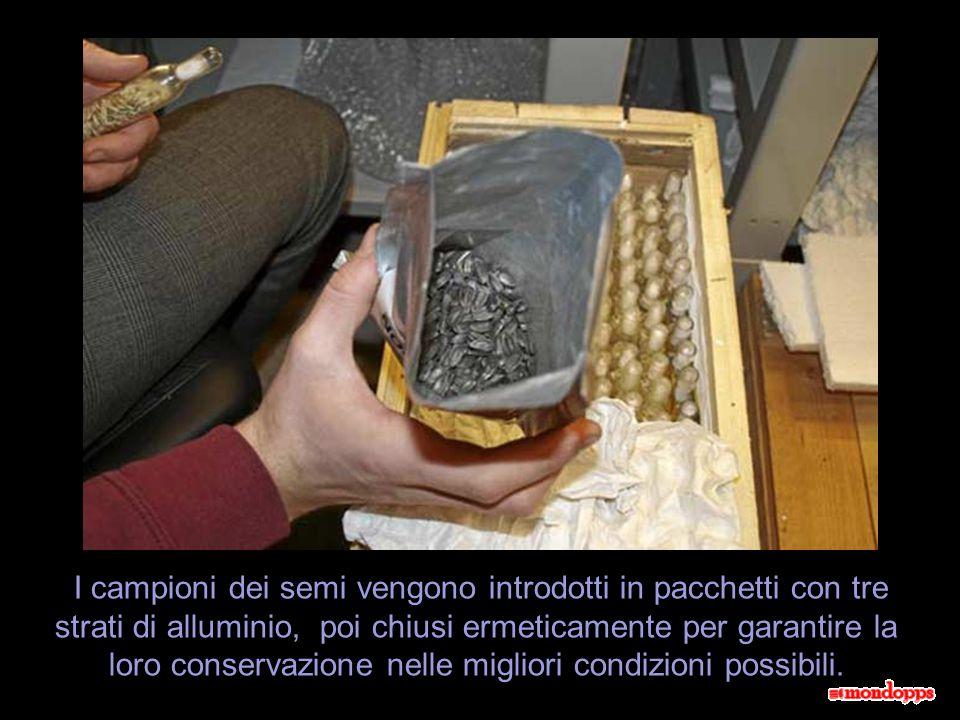I campioni dei semi vengono introdotti in pacchetti con tre strati di alluminio, poi chiusi ermeticamente per garantire la loro conservazione nelle migliori condizioni possibili.