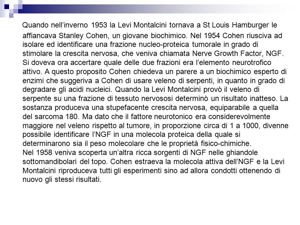 Quando nell'inverno 1953 la Levi Montalcini tornava a St Louis Hamburger le affiancava Stanley Cohen, un giovane biochimico.