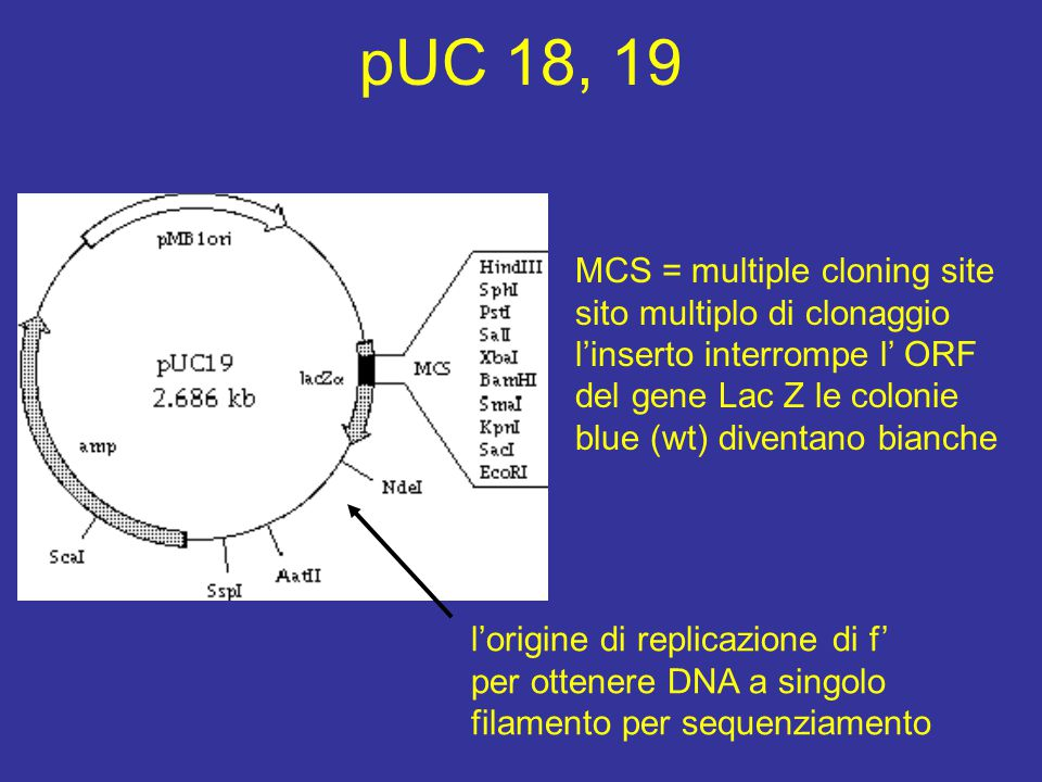 pUC 18, 19 MCS = multiple cloning site
