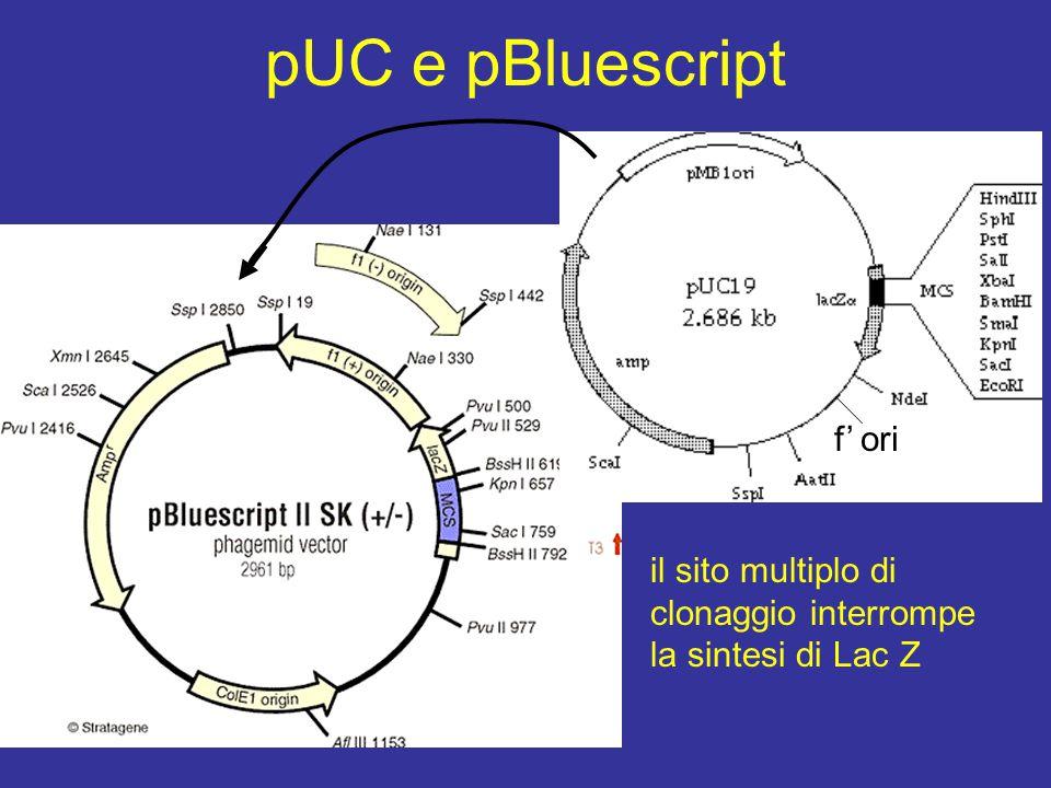pUC e pBluescript f' ori
