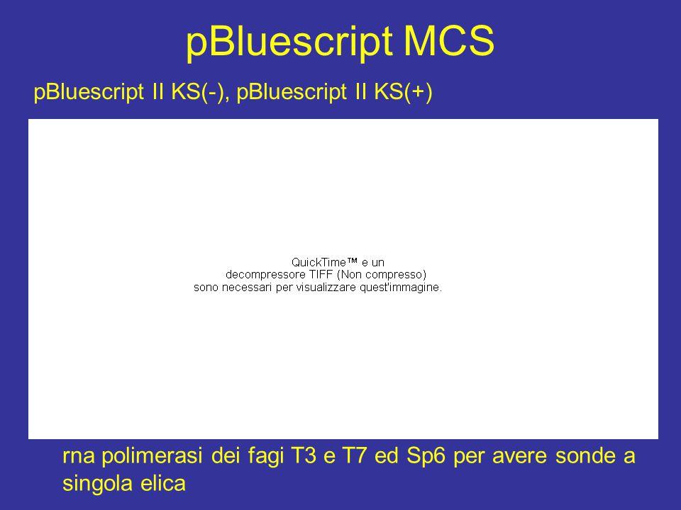 pBluescript MCS pBluescript II KS(-), pBluescript II KS(+)