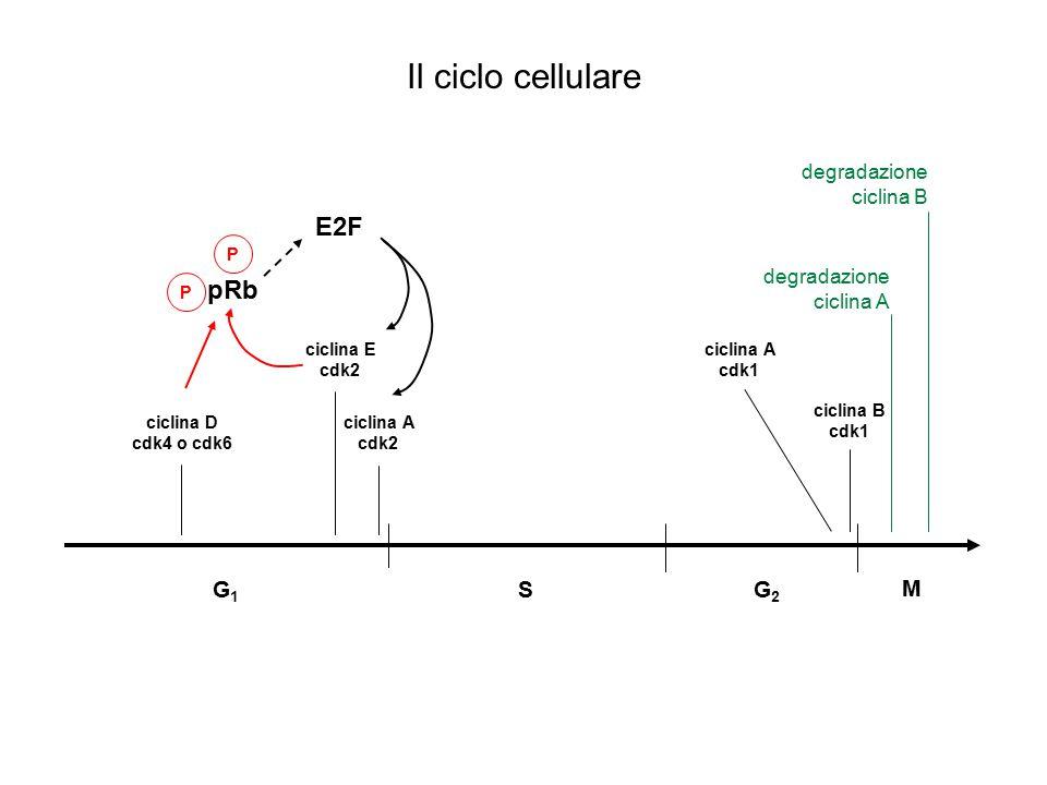 Il ciclo cellulare E2F pRb G1 S G2 M degradazione ciclina B