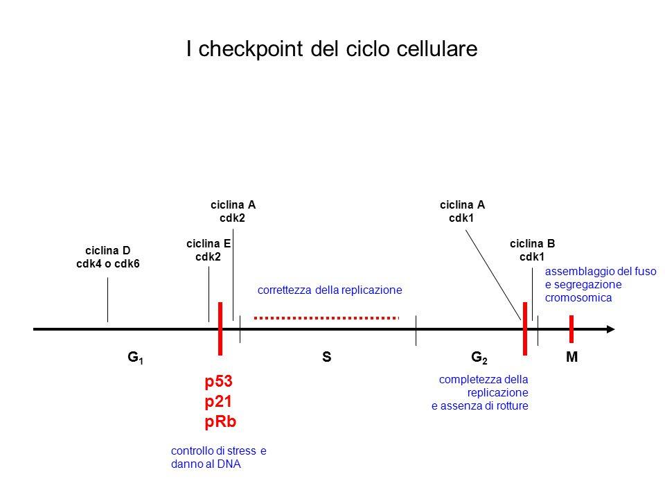 I checkpoint del ciclo cellulare