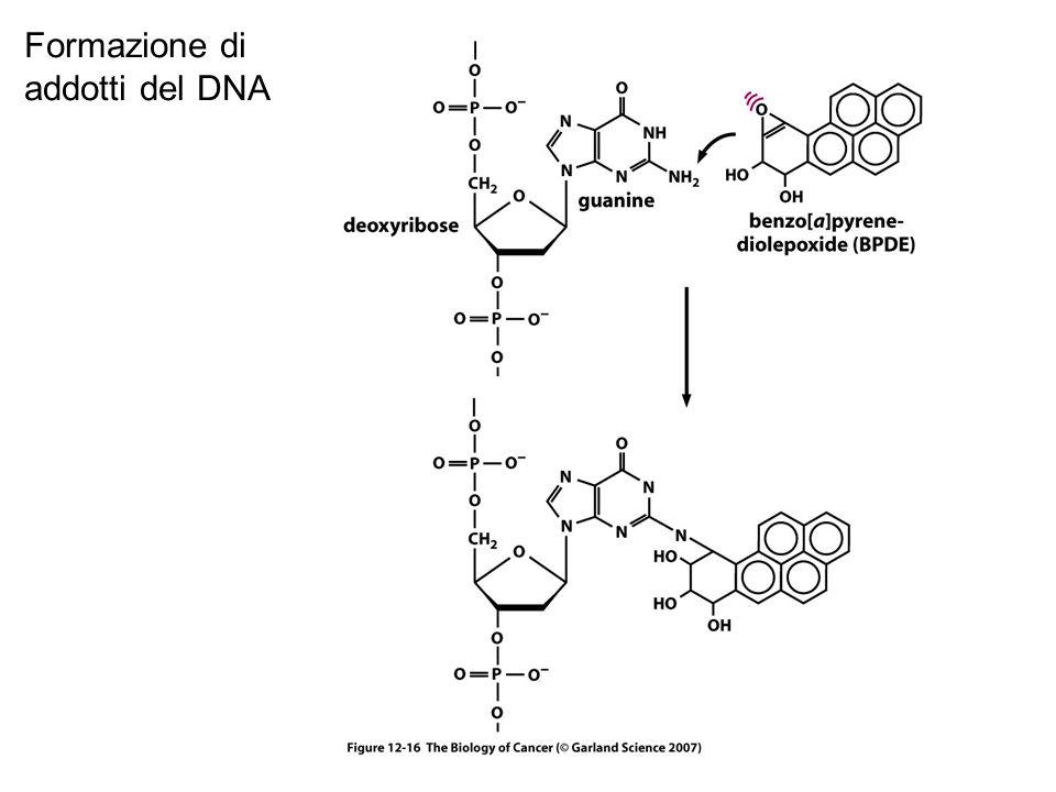 Formazione di addotti del DNA