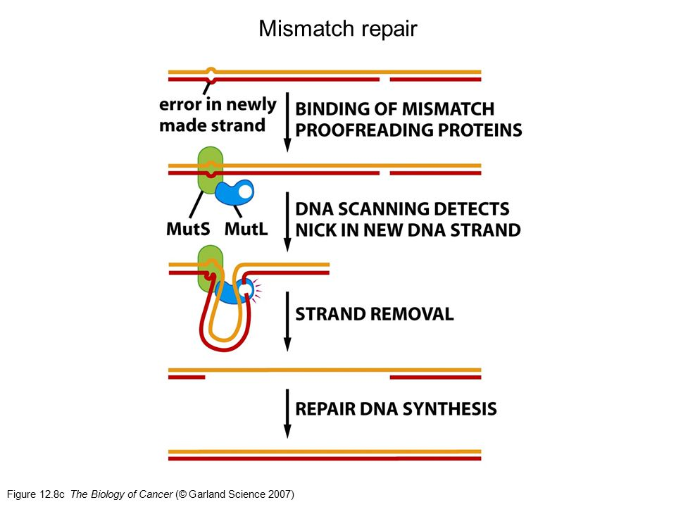 Mismatch repair Figure 12.8c The Biology of Cancer (© Garland Science 2007)