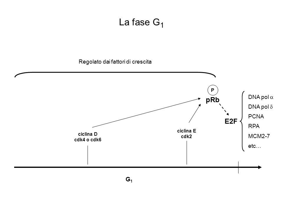 La fase G1 pRb E2F G1 Regolato dai fattori di crescita DNA pol 