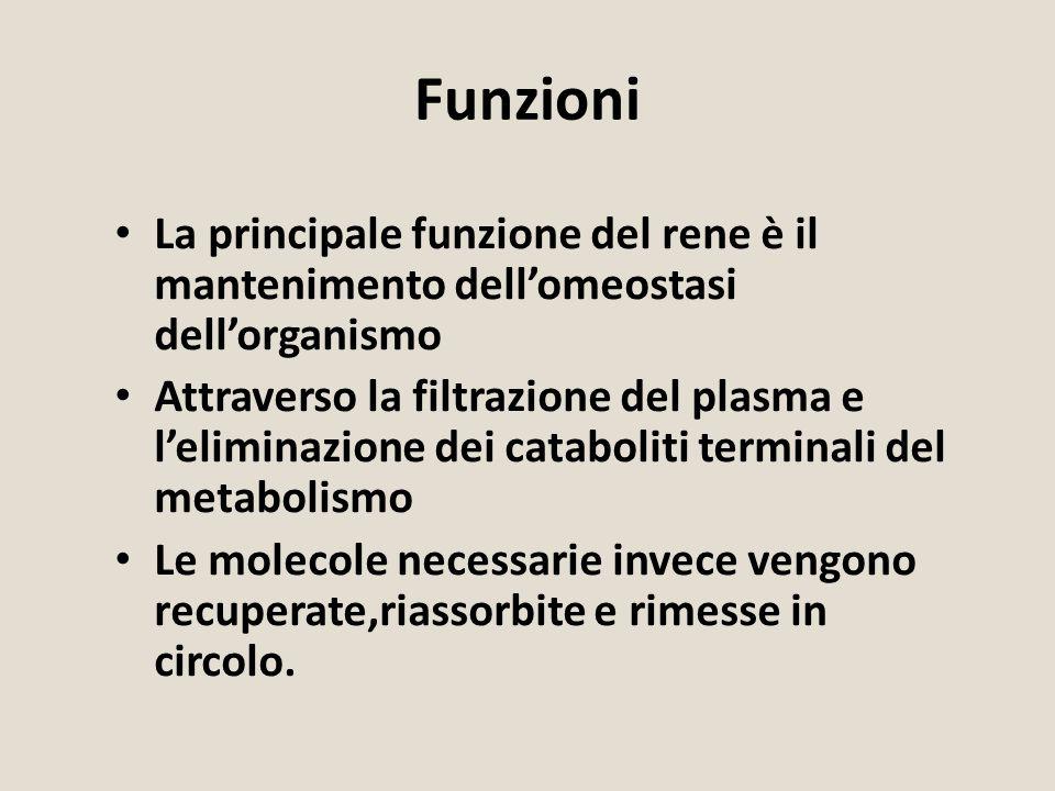 Funzioni La principale funzione del rene è il mantenimento dell'omeostasi dell'organismo.
