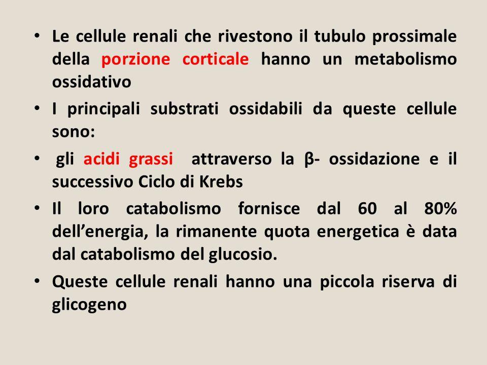 Le cellule renali che rivestono il tubulo prossimale della porzione corticale hanno un metabolismo ossidativo