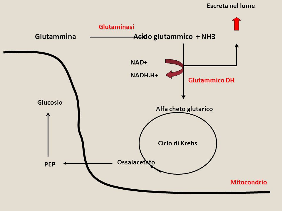 Glutammina Acido glutammico + NH3