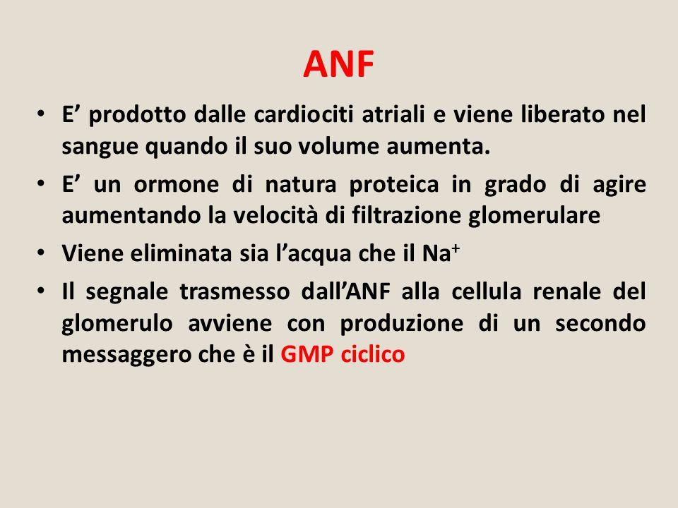 ANF E' prodotto dalle cardiociti atriali e viene liberato nel sangue quando il suo volume aumenta.