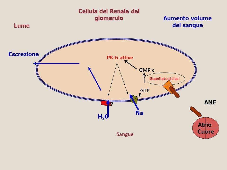 Cellula del Renale del glomerulo Aumento volume del sangue