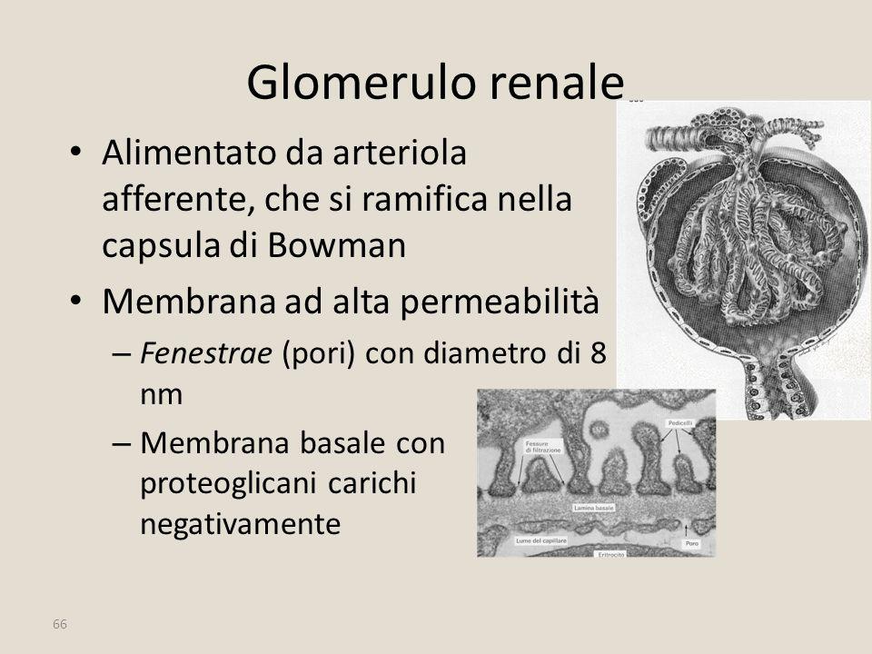 Glomerulo renale Alimentato da arteriola afferente, che si ramifica nella capsula di Bowman. Membrana ad alta permeabilità.