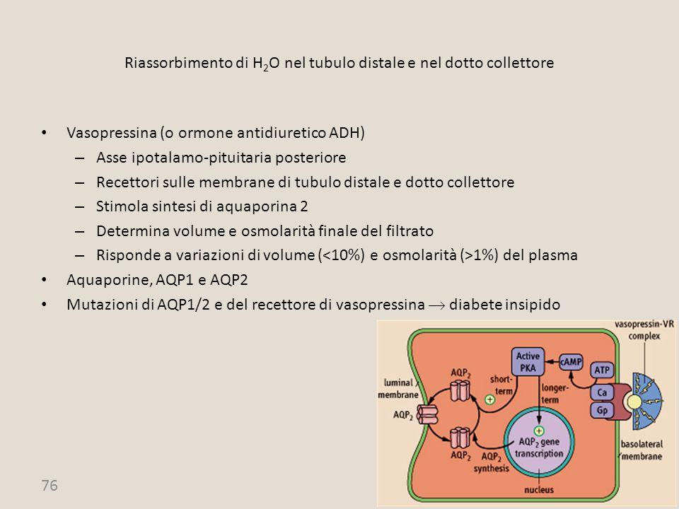 Riassorbimento di H2O nel tubulo distale e nel dotto collettore