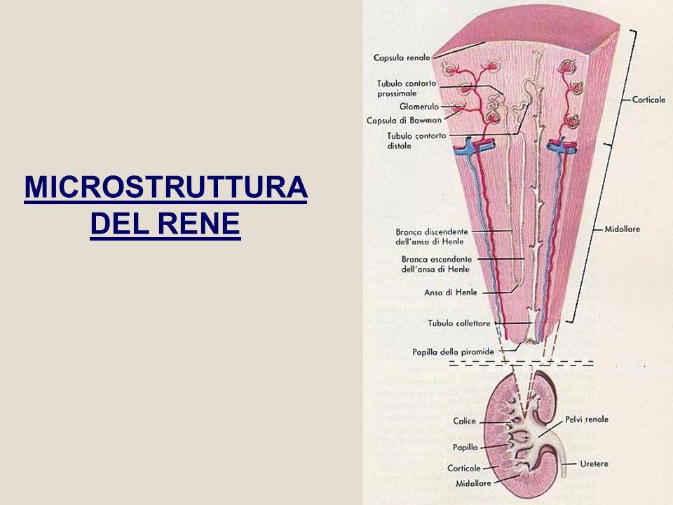 MICROSTRUTTURA DEL RENE