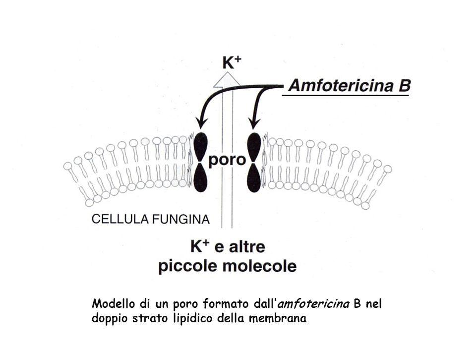 Modello di un poro formato dall'amfotericina B nel doppio strato lipidico della membrana