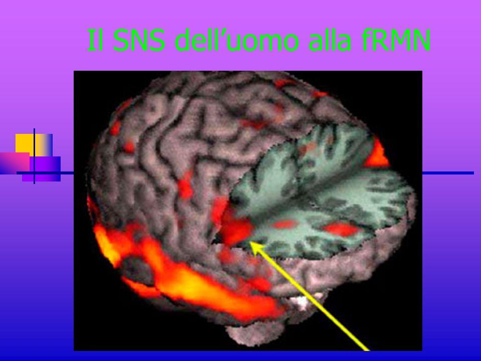 Il SNS dell'uomo alla fRMN